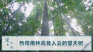 [跟着书本去旅行]热带雨林高耸入云的望天树| 课本中国