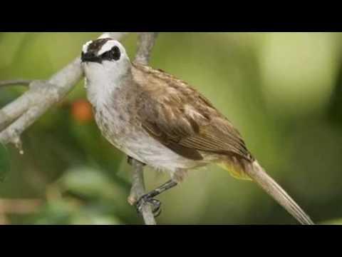 Master Suara Burung Trucuk Isian - Suara Kualitas Tinggi