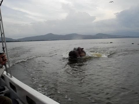 Hippo chasing boat! Scary! (ORIGINAL VIDEO)