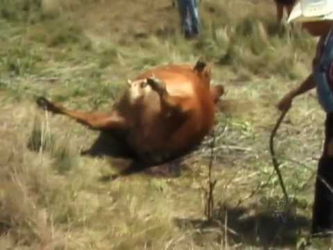 Cattle Mutilations - Government & Alien Research?