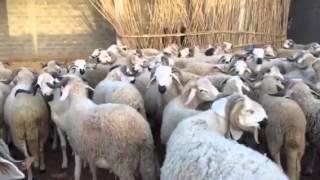 Vente Moutons Sardi Marrakech 0661051517