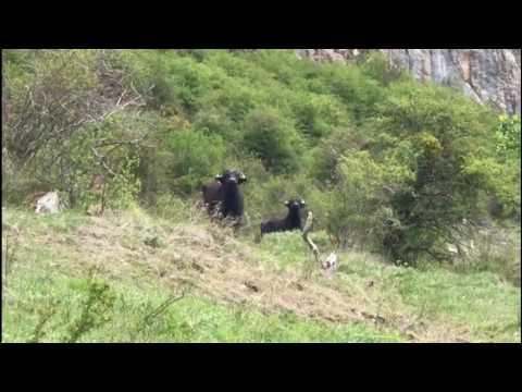 Bisontes y Búfalas en Riaño