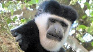Ethiopia -  Park in Awassa - Colobus and Grivet monkeys