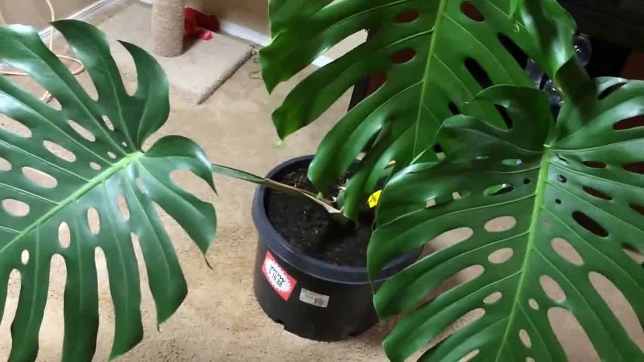 Monstera: breeding and care 59