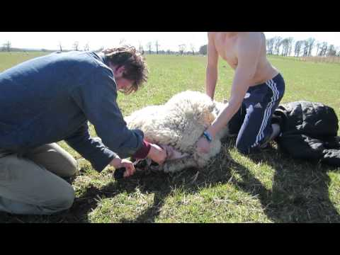 Ewe in the beginning stages of labor