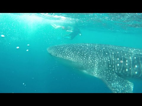 Whale Shark Discovery tour with Ocean Tours Mexico Snorkeling Swimming Whalesharks Cancun Gopro 4 4k