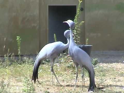 Blue Cranes at International Crane Foundation