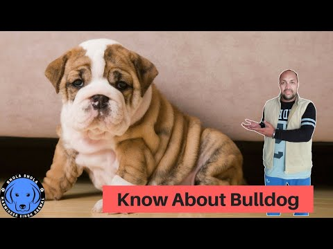 Dog Breed - Know About Bulldog Breed - Bhola Shola