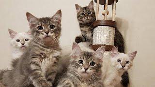 Котята питомника сибирских кошек AmurTiger