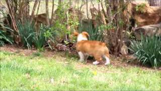 Red Pembroke Welsh Corgi Pups Playing