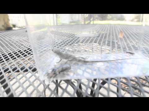 Florida herping 2 anoles,fence lizard