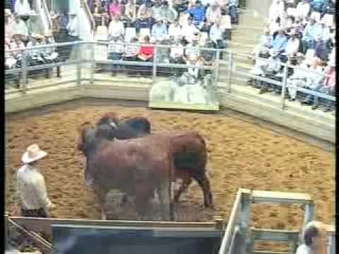 ROCKHAMPTON BRAHMAN WEEK 2008 LIVE WEBCAST LOT345