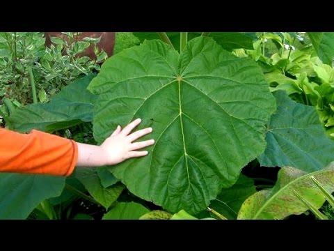 Buy Paulownia Tree Uk