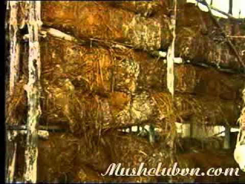 Hướng dẫn kỹ thuật trồng nấm rơm ngoài trời - 03