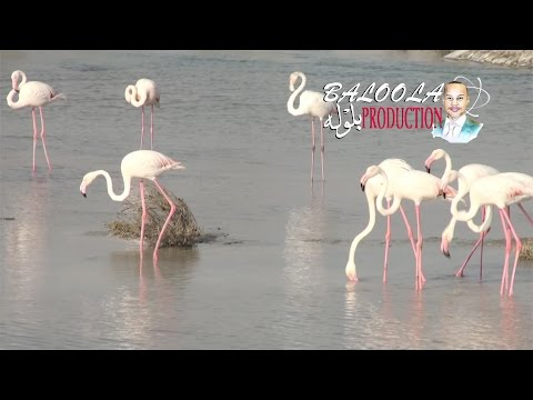Flamingo Ras al Khor Wildlife Sanctuary – Time lapse 4K الفلامنجو محمية رأس الخور