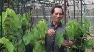 kỹ thuật trồng cây na thái ít hạt và dai