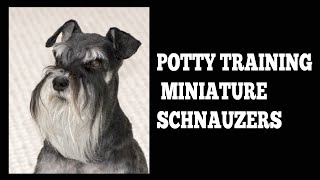 How To Easily House Train Miniature Schnauzers