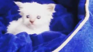 ПРОДАЖА котята RagDoll Кошка кукла 018