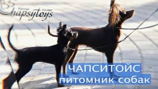 Русский Той Терьер, Чихуахуа (питомник ЧАПСИТОЙС)