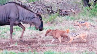 Battle Between Jackals & Wildebeest Mother over Baby