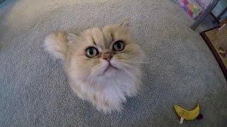 16 03 20 Persian kitty, Sahara, is bored