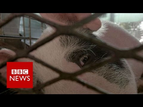 Could pigs be used to grow human organs for transplant?  BBC News