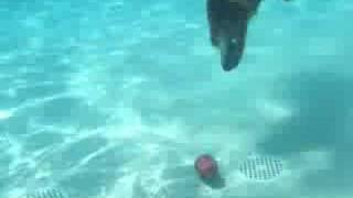 Dusty, Golden Retriever Rescue Foster, Dives For His Kong