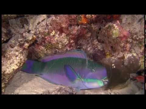 Parrotfish In Mucous Bubble