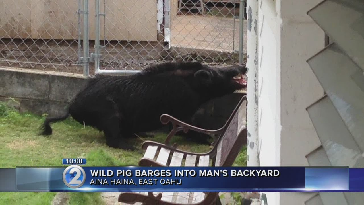 Giant wild boar spotted at Aina Haina home - YouTube Giant Wild Boar Photos