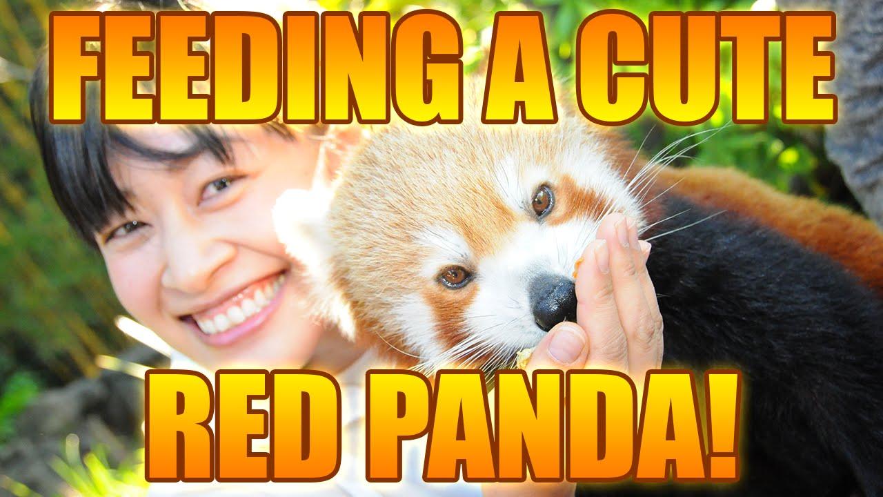 Feeding a Red Panda at the Australia Zoo - YouTube