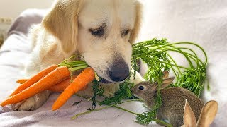 Golden Retriever Brought Carrots to Baby Bunnies