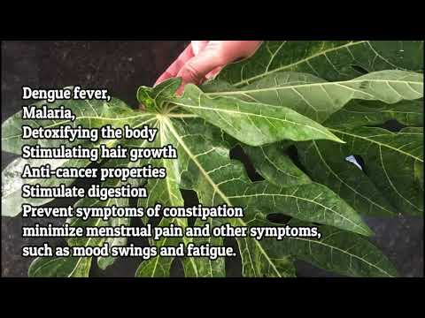 does-papaya-leaves-helps-promote-healthy-liver-full-hd-1080p