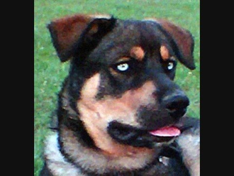 Husky Rottwieler With Piercing Blue Eyes Youtube