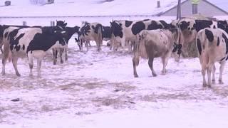 80 коров и 10 тысяч кг молока. Доярки ЗАО «Глинки» дают высокие показатели