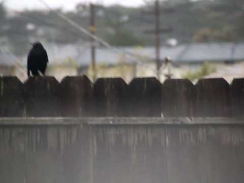 Lonely Crow Sits Atop A Fence