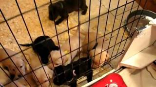 Labrador Retriever Puppies 3 Weeks 6 Days Old