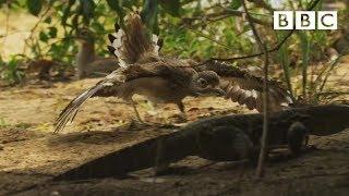 Dikkop bird defends a crocodile - Spy in the Wild: Episode 3 Preview - BBC One