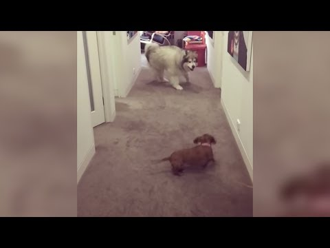 Adorable Dogs Play Game of Chase (Storyful, Dogs)