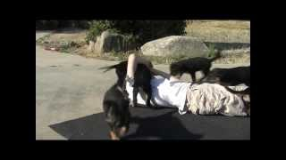 Little Boy Vs Rottweilers At Yard Sale, Rotties