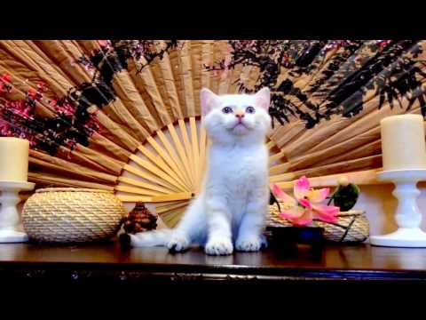 – Колор-поинт - купить кошку, кота или котенка