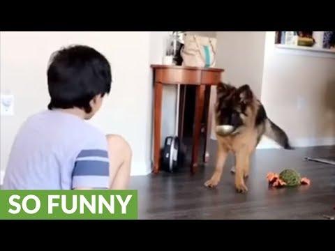 German Shepherd puppy mimics kid's every move
