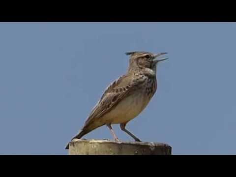 Ptice Hrvatske - Kukmasta ševa (Galerida cristata) (Birds of Croatia - Crested Lark) (2/3)