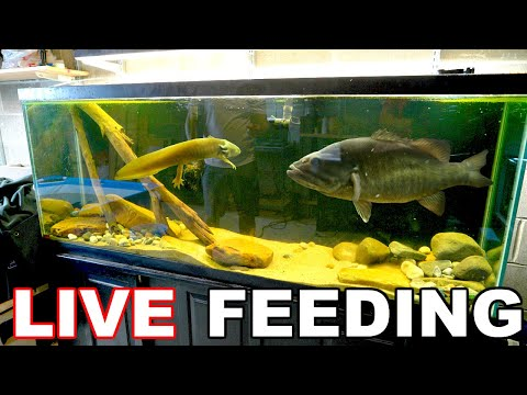 Feeding GIANT Amphibians To SAVAGE Pet Bass!!! (Biggest Meal EVER)