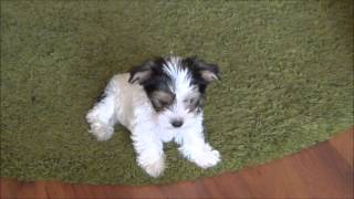 Reksio - 2 Miesiące / 2 Months - Biewer Yorkshire Terrier A La Pom Pon