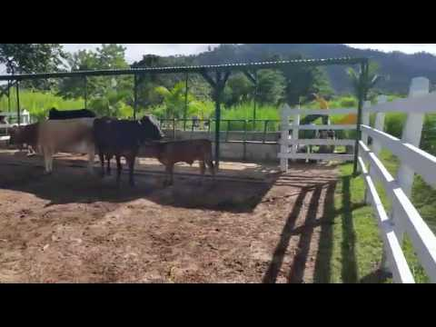 VACAS LECHERAS ( RANCHO SOFIA ) HONDURAS - YouTube