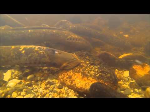 Sea Lamprey Spawning