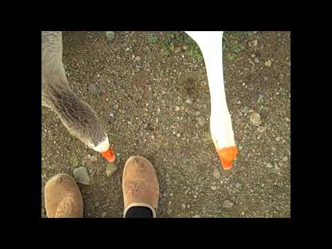 Gooses/Geese attack funny ((complation))!! Ep. 1!!