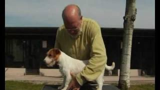 L'arrivée du chiot Jack Russel Terrier
