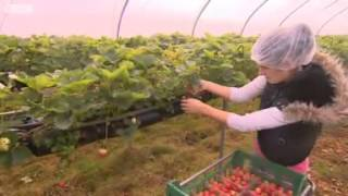 UK farms  Migrant workers picking fruit and vegetables