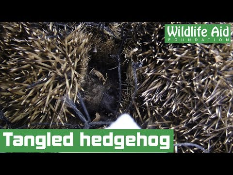 Tangled hedgehog in need of help!